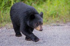https://flic.kr/p/MfGZAQ | Black Bear cub - Jasper NP - Alberta | Miette…