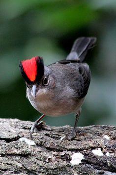 Tico-tico-rei-cinza   (Lanio pileatus) Pileated Finch by marceloesalgado, via Flickr