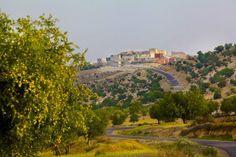 Dzikie drzewa arganowe rosną w górach Atlas, na terenie Maroka.