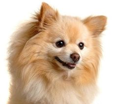 Tips For House Training Your Pomeranian Puppy