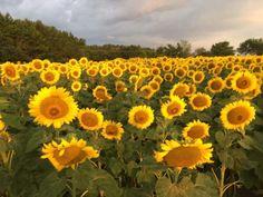Sunflower fields on Raleigh Greenway