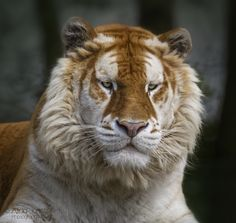 Sapphire by Alida Jorissen on 500px  This rare beauty is named Sapphire after the colour of his eyes. He used to work in a circus where he no longer complied.  He is now living in a zoo where they hope he will prove a hit with the lady-tigers he will one-day breed with. Nature Animals, Animals And Pets, Baby Animals, Cute Animals, Wild Animals, Beautiful Cats, Animals Beautiful, Big Cats, Cats And Kittens
