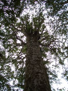 Giant Kauri, Puketi Kauri Forest, New Zealand (North Island)