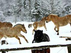 Quality Norwegian Fjord Horses in Cape Breton-Bella Cavallo Farm