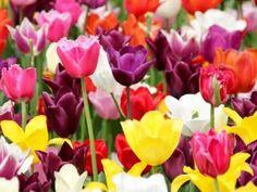 tulipany wiosenne kwiaty cebulowe fot. Peggy und Marco Lachmann-Anke - Pixabay.com