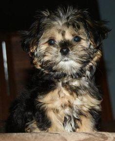 so cute! shorkies :)