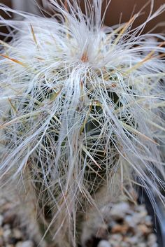 Old Man of the Andes (Oreocereus celsianus)