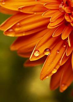 It's all about the photos: 'Orange Gerbera' by Rixoon Green And Orange, Orange Color, Macro Flower, Orange Aesthetic, Orange You Glad, Orange Crush, Happy Colors, Orange Flowers, Flower Wallpaper