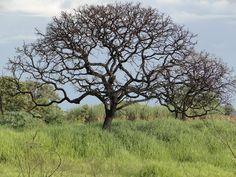 Árvore do Cerrado State of Goias, Brazil