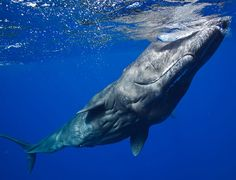 Sperm Whale.  Awesome creature.  Awesome truly.