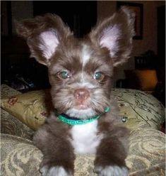 It's a Pom-Tzu! (Pomeranian / Shih Tzu hybrid. Yup.)