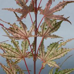 Acer palmatum 'Olson's Frosted Strawberry'
