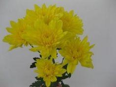 Yellow Cushion Spray Mums, #Chrysanthemums