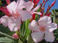 OLEANDER HAUS  Nerium Oleander Gotsis Alkmene Nerium, Flowers, Plants, House, Gardening, Floral, Plant, Royal Icing Flowers, Florals
