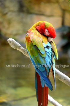 military x greenwing Macaw mix