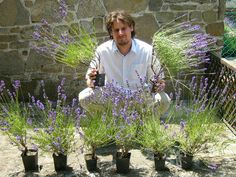 Lavender, Home And Garden, Gardening, House, Home, Lawn And Garden, Haus, Houses, Horticulture