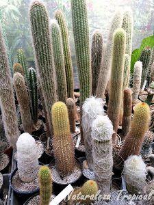 Colección de cactus alargados