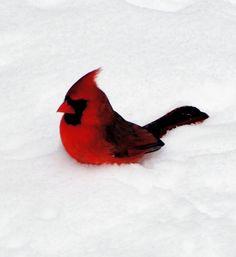 Northern Cardinal in snow by Zeus Ocean Storm, via Flickr