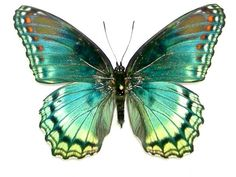 buy butterflies that were raised on different butterfly farms around the world. The Butterfly Company has unmounted unspread butterflies for sale. Butterfly Drawing, Butterfly Pictures, Butterfly Painting, Butterfly Wallpaper, Blue Butterfly, Beautiful Bugs, Beautiful Butterflies, Sibylla Merian, Animal Drawings