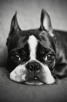 Boston Terrier - could never replace Charlie but I could never have another breed