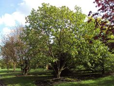 Pretty Castanea-sativa - Sweet Chestnut Tree perfect for reading a book in in summer and roasting chestnuts from in autumn and winter