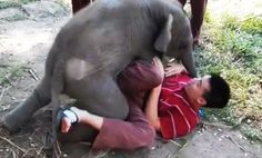 """Baby Elephant Wants to Cuddle (Video) """"It was at the end of our day which we had the unique opportunity to play with a two month old female calf named Tara. As soon as she heard Arthur calling her she ran over and cuddled with him non-stop. It was an adorable and unforgettable experience.""""    Read more: http://www.care2.com/greenliving/baby-elephant-wants-to-cuddle-video.html#ixzz2RabT30D0"""