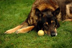 17 Simple Boredom Busters For Dogs – German Shepherd Shop Heimlich Maneuver For Dogs, Epilepsy In Dogs, Excited Dog, Puppy Barking, Nikon Digital Slr, Clever Dog, Dog Puzzles, Let The Fun Begin, Like A Cat