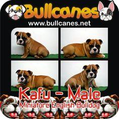 Bulldog Puppies For Sale, French Bulldog Puppies, Miniature English Bulldog, Facebook, Youtube, Instagram, French Bulldog Pups, Youtubers