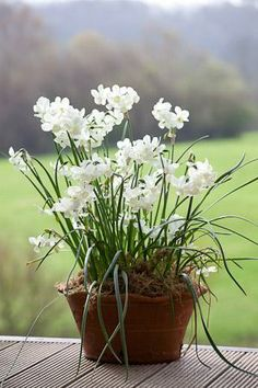 [narcissi 'Petrel', available from Sarah Raven]
