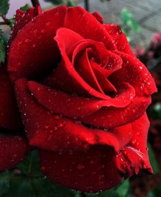 Red rose All Pictures, Red Roses, Flowers, Plants, Beautiful, Royal Icing Flowers, Flower, Florals, Plant