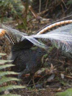 Lyrebird in the wild