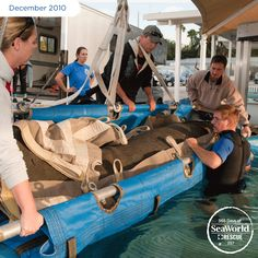 This adult male manatee suffered from cold stress and hypothermia, and was brought to SeaWorld for expert care and rehabilitation. #365DaysOfRescue