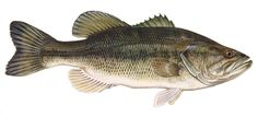 bass images of fish   Bass Fishing   Rockview Cottages Family Fishing Resort