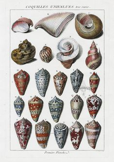 Cone Shells from Dezallier D'Argenville Antique Shells Copper Plate Engravings 1780