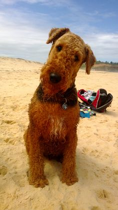 Airedale performing the trademark head tilt. Their brains work better at an angle.