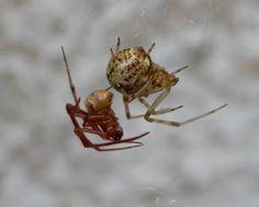 """An article published in the journal """"BMC Biology"""" describes a genetic research that shows a whole genome duplication (WGD) during the evolution of arachnids. An international team of researchers in collaboration with the Human Genome Sequencing Center at Baylor College of Medicine analyzed the DNA of the common house spider (Parasteatoda tepidariorum) and the Arizona bark scorpion, Centruroides sculpturatus, concluding that they descended from a common ancestor that lived more than 450…"""