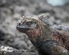 Marine Iguana, Santiago island, Galápagos