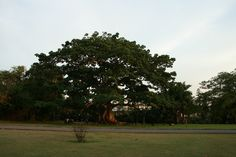 One of my fave trees to sit under. Hope Gardens, St. Andrew, Jamaica