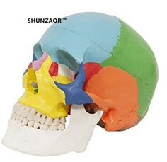 SHUNZAOR 19*15*21cm Dental dentista Human Skull esqueleto humano anatomia  Medical Model & Colored Bones Plastic Skull Model