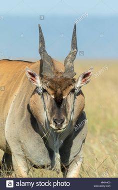Wild Animals, Cute Animals, African Antelope, Beyond Beauty, African Animals, Wild Life, Kenya, Deer, Hunting