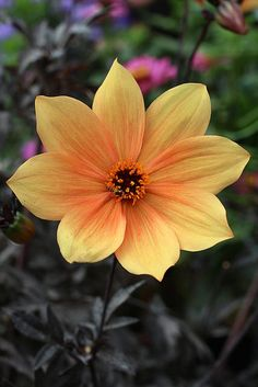 Dahlia 'Dark Side of the Sun' with syrphid by anniesannuals