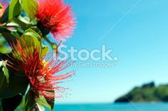 A Close-Up of the Pohutukawa flower . This New Zealand coastal tree. New Zealand Beach, New Zealand Travel, What Image, Image Now, Kiwiana, Fresh Image, Closer To Nature, Christmas Background, Travel And Tourism