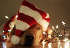 the dog loves chistmas cause everynight he is sleeping with decorations