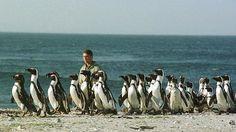 En África llegaron a vivir hasta cuatro especies de pingüinos prehistóricos