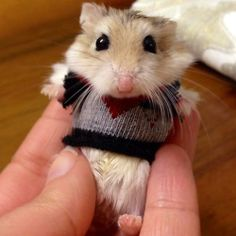 Hamster. In A Very Small Sweater. I've had these hamsters.. they're like mini crack hamsters.. fast as fuck. How the hell did you get a sweater on one??
