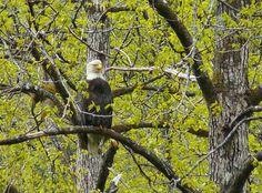 Bald Eagle in Gold Creek, Alaska.