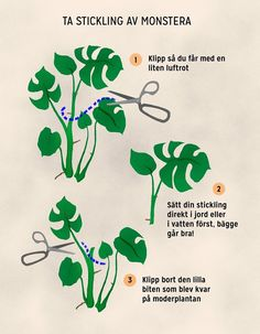 Everything You Need to Know About Monstera Plant Care - Pflanzen - Stickling på monstera - Philodendron Monstera, Monstera Deliciosa, Decoration Plante, Design Jardin, Mother Plant, Green Plants, Growing Plants, Plant Care, Dream Garden