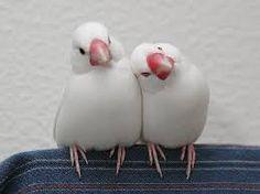 「文鳥」の画像検索結果