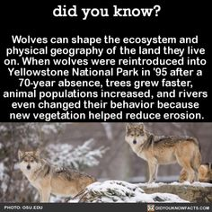 Wolves can shape the ecosystem and physical geography of the land they live on. When wolves were reintroduced into Yellowstone National Park in after a absence, trees grew faster, animal populations increased, and rivers even changed. - SAVE THE WOLVES Did You Know Facts, Things To Know, The More You Know, Good To Know, Of Wolf And Man, Physical Geography, Wolf Quotes, Wtf Fun Facts, Crazy Facts