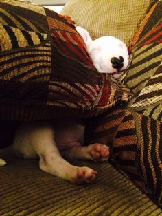 #Bull #Terrier sleeping cutie Mini Bull Terriers, Bull Terrier Puppy, English Bull Terriers, Best Dog Breeds, Best Dogs, Nanny Dog, Terrier Breeds, Beautiful Dogs, Dog Toys